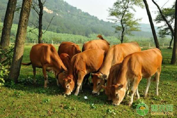 湘西黄牛的养殖技术