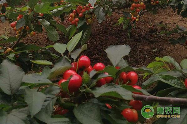 樱桃树苗为什么死树尖?主要是这四大原因!