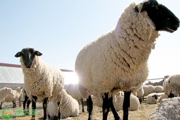 科学养羊注意事项