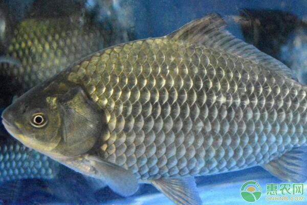 鲤鱼养殖池塘的水质调控方法