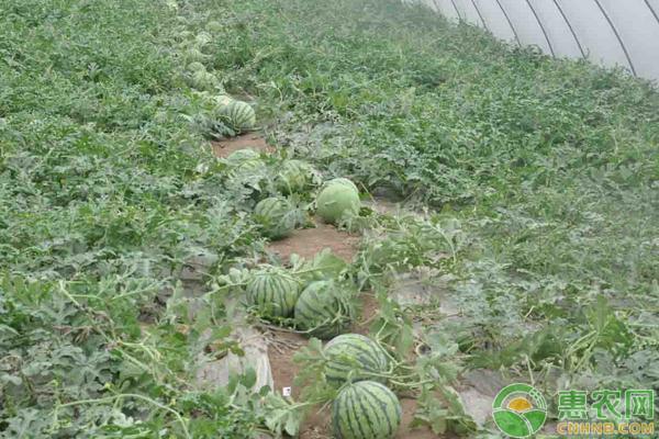 西瓜种植时间与管理方法