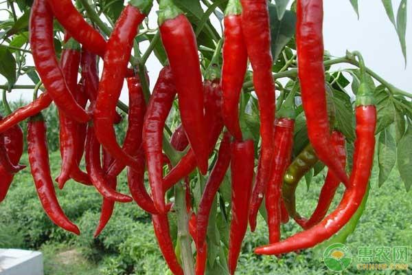 辣椒高产种植技术
