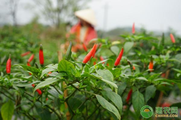 辣椒种植技术