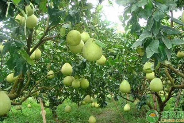 柚子树种植几年结果?柚子高产栽培管理方法