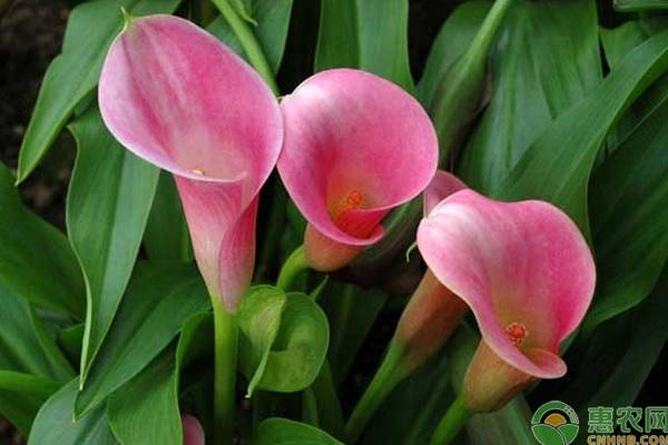 马蹄莲的花语