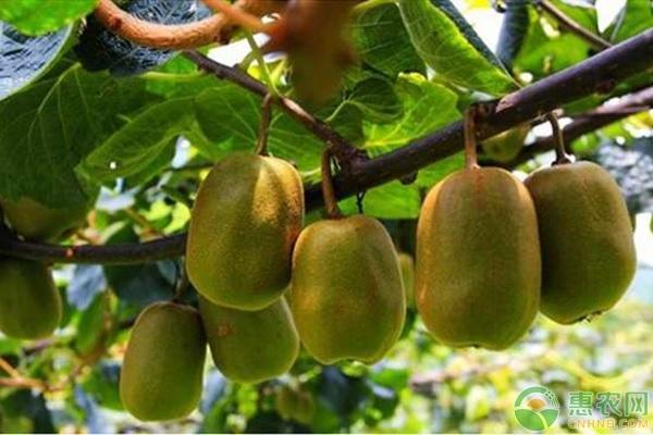 猕猴桃种子的育苗方法