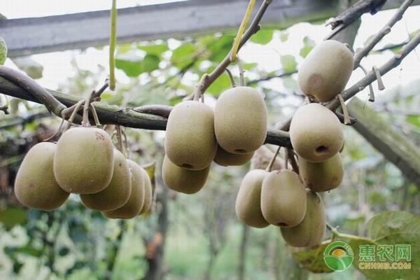猕猴桃种子的育苗要点