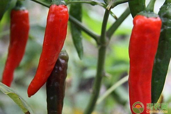 冬春茬栽培辣椒做好這九大要點,產量與效益不會低!