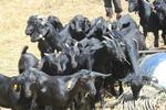 成都黑山羊 30-50斤