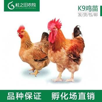 K9鸡苗  K9大品种鸡苗 麻黄 广新 胡树强 可长10多斤 全国发货