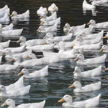桂柳鸭苗  桂柳大白鸭苗 45天出栏 北京烤鸭运输死亡包赔包疫苗