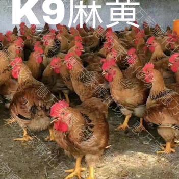 K9鸡苗  k9肉鸡苗 882鸡苗 新广901鸡苗 K9麻黄厂家直销