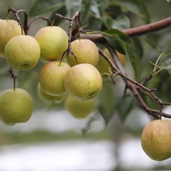 品种梨苗红香酥树苗,玉露香梨树苗