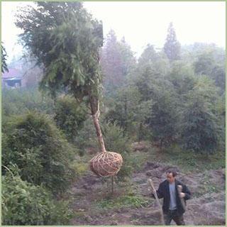 桂林红枫种子