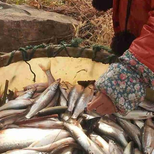 湖州南浔区翘嘴红鲌 人工养殖 0.5公斤以下