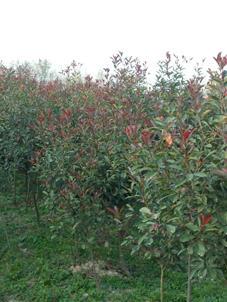 沭陽縣 苗圃供應紅葉石楠
