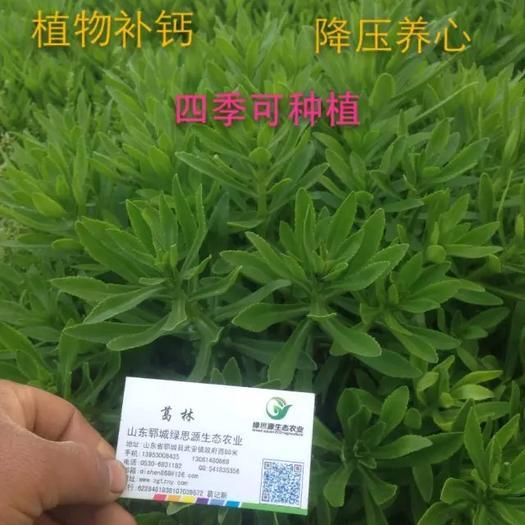 郓城县 高钙菜种子 养心菜 救心菜苗 费菜苗 景天三七苗
