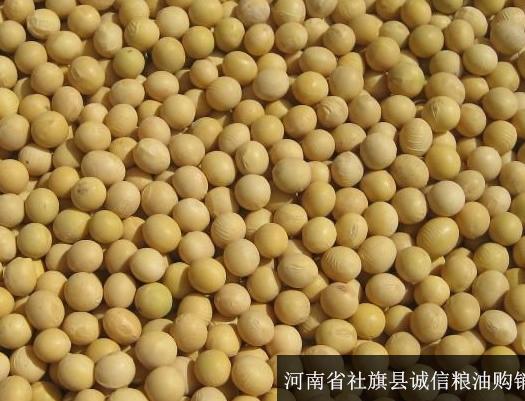 社旗县中黄38号黄豆 生大豆