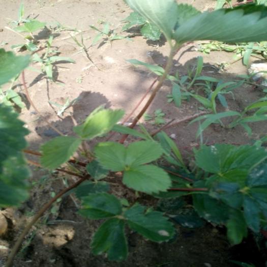 泰安岱岳区天仙醉草莓苗 地栽苗 10~20公分