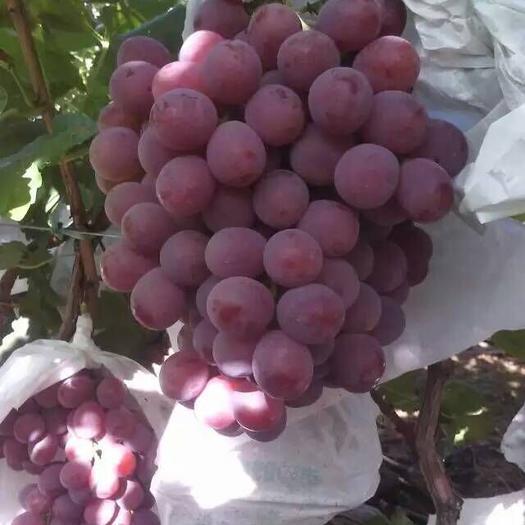 大荔县美国红提 10%以上 1次果 0.8-1斤