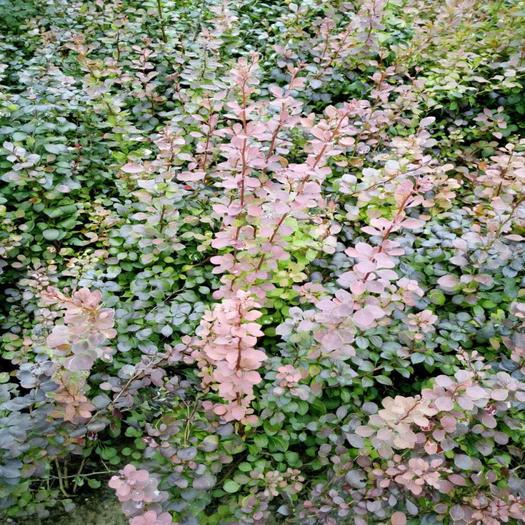 泰安紅葉小檗