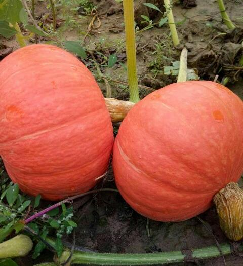 神池县金红冠南瓜 2~4斤 扁圆形