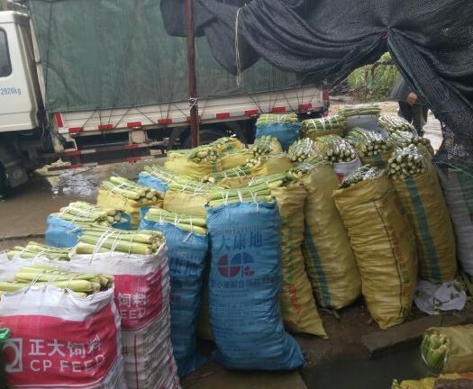 贛州贛縣區 全年大量供應優質單季和雙季茭白苗,浙茭六號七號911茭白苗