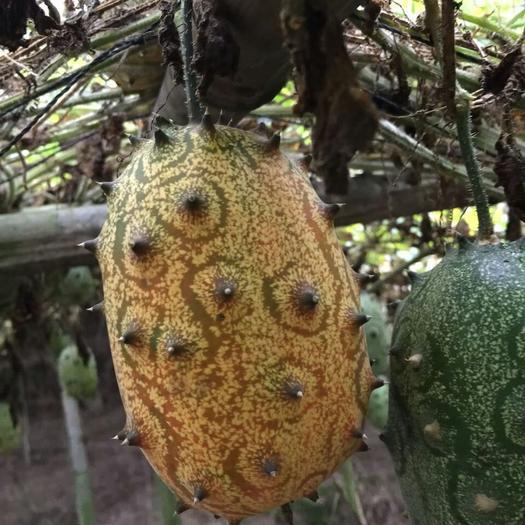 上饶鄱阳县香如蜜种子  火参果种子出售