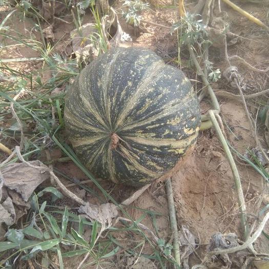 榆林定边县黑皮南瓜 4~6斤 扁圆形