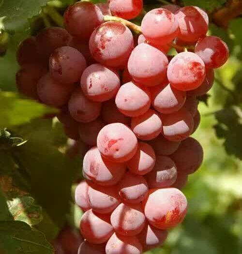 合阳县 红提葡萄