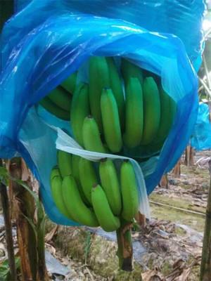 德庆县广东香蕉2号 七成熟