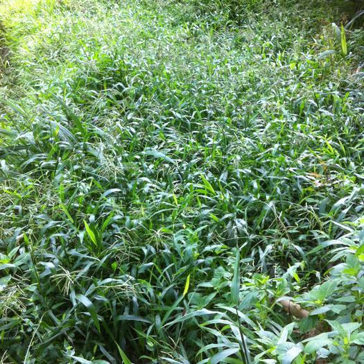 南平建阳区百喜草种子