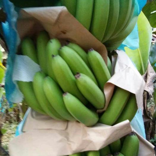 文山麻栗坡县河口高把香蕉