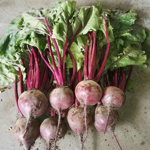 農安縣紅甜菜 15~20cm