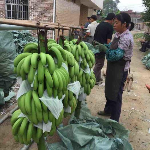 玉林台湾芭蕉 七成熟 50 - 60斤