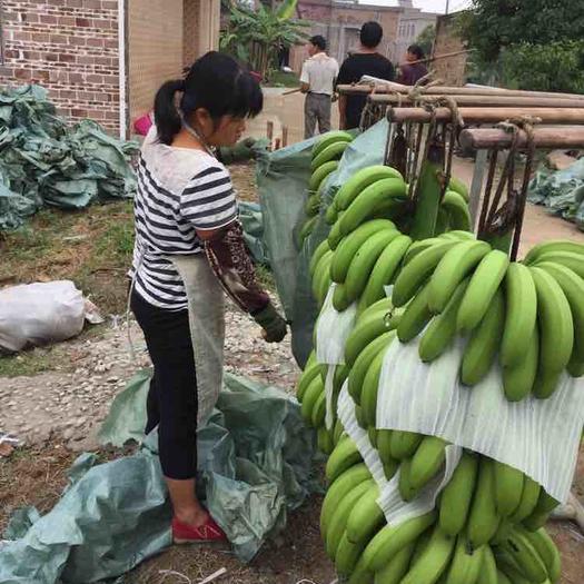 玉林福綿區 大量供應香蕉,條蕉