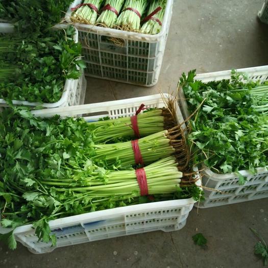 邯郸永年区皇妃芹菜 40cm以下 大棚种植 1.0~1.5斤