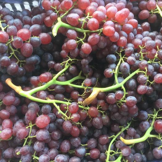 蓬莱市红宝石葡萄 5%以下 1次果 0.8-1斤