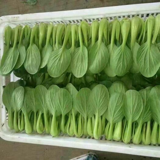 南通通州区 精品油菜  产地直供  量大优先  常年供应