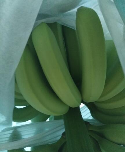 麻栗坡县那龙香蕉