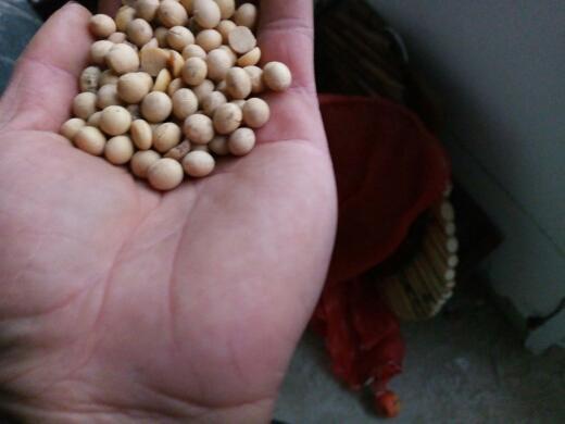 忻州黄黄豆 生大豆