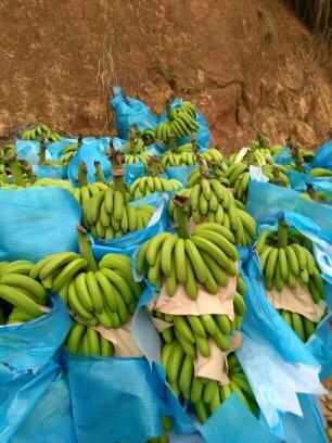 文山马关县河口高把香蕉