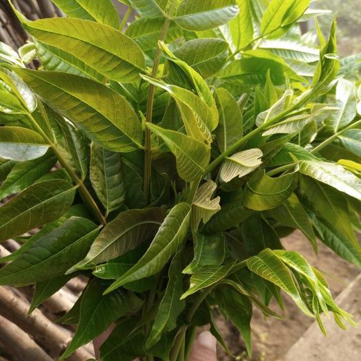 泰安岱岳区红油香椿芽 大棚种植 袋装 一级