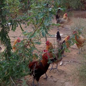生态散养柴公鸡