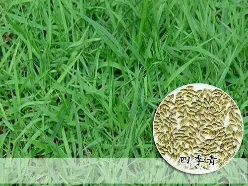 宿迁沭阳县中华结缕草种子
