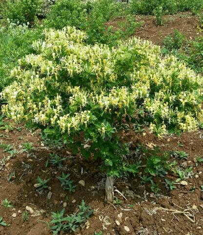 临沂平邑县 金银花苗  树形金银花苗 当年开花 产量高 包技术包回收