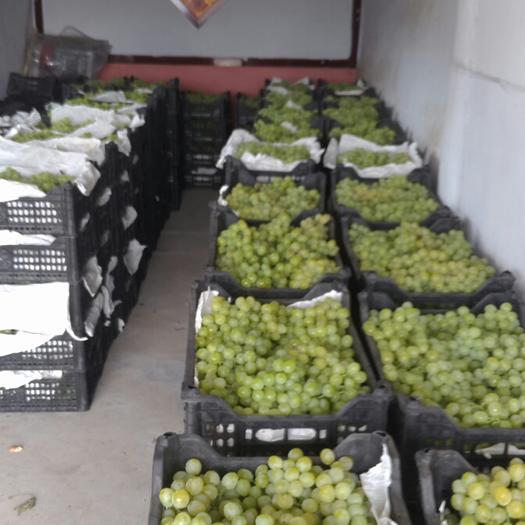 平度市泽山一号葡萄 5%以下 1次果 1-1.5斤
