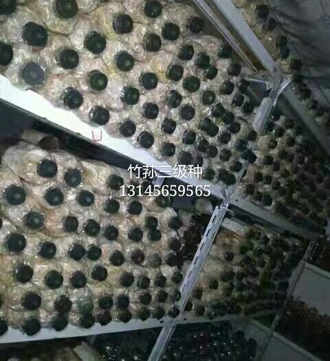 合肥长丰县竹荪菌种