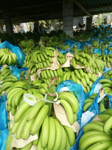 红河金平苗族瑶族傣族自治县河口香蕉