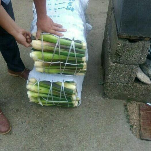 安慶岳西縣 單季雙季老根 茭白種苗  芽頭多 產量高